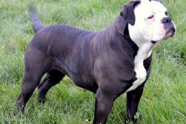 Alapaha-Blue-bulldog